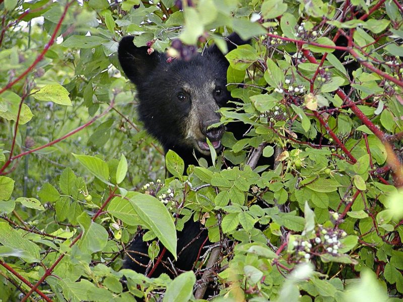 Black Bear Good Medicine-Lodge Whitefish Montana Bed and Breakfast